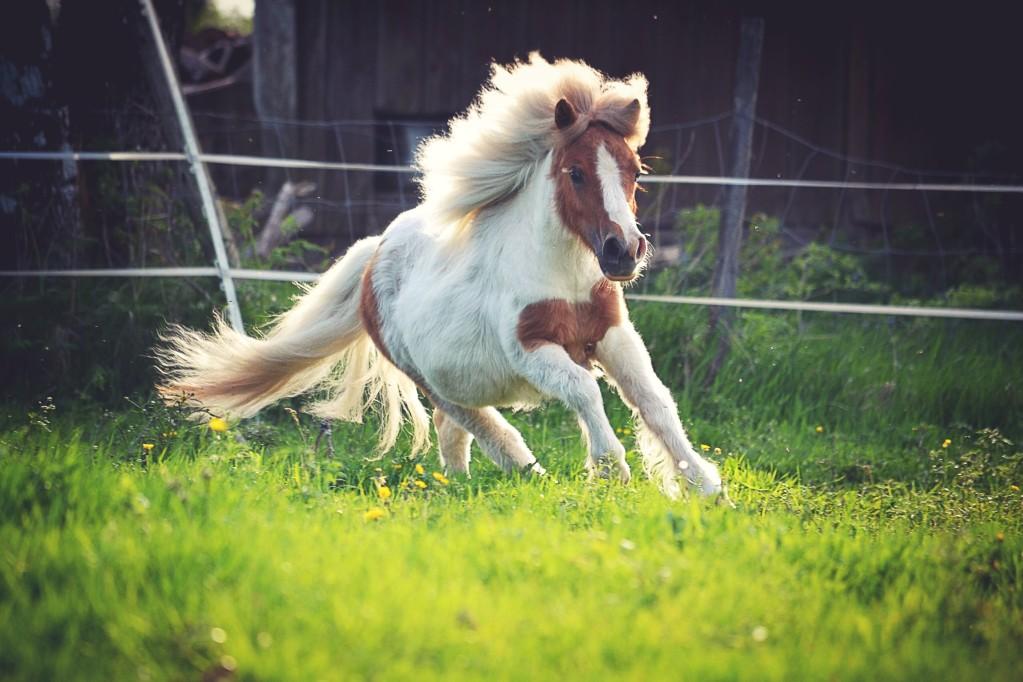 Pony galoppiert