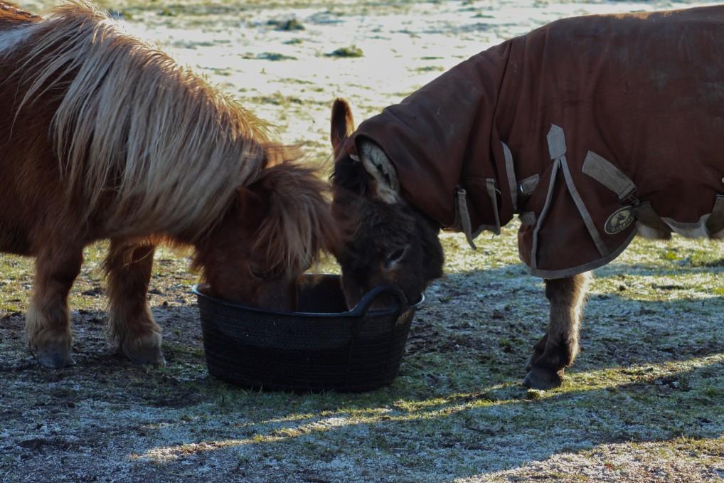 2 Ponys fressen aus dem Trog